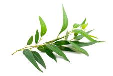 guia-da-alma-aromaterapia-angela-hoppen-eucalipto